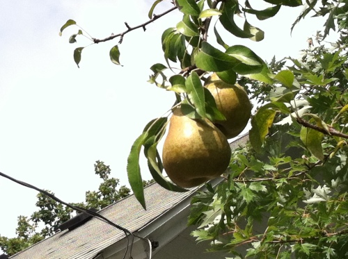 Our own pears.