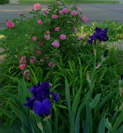Roses and irises--all moved to the backyard.
