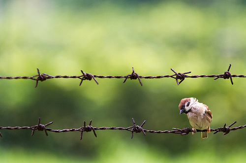 Sparrow on barbed wire. By See-ming Lee from Flickr, Creative Commons
